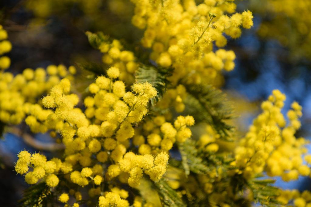 fleurs boules jaunes