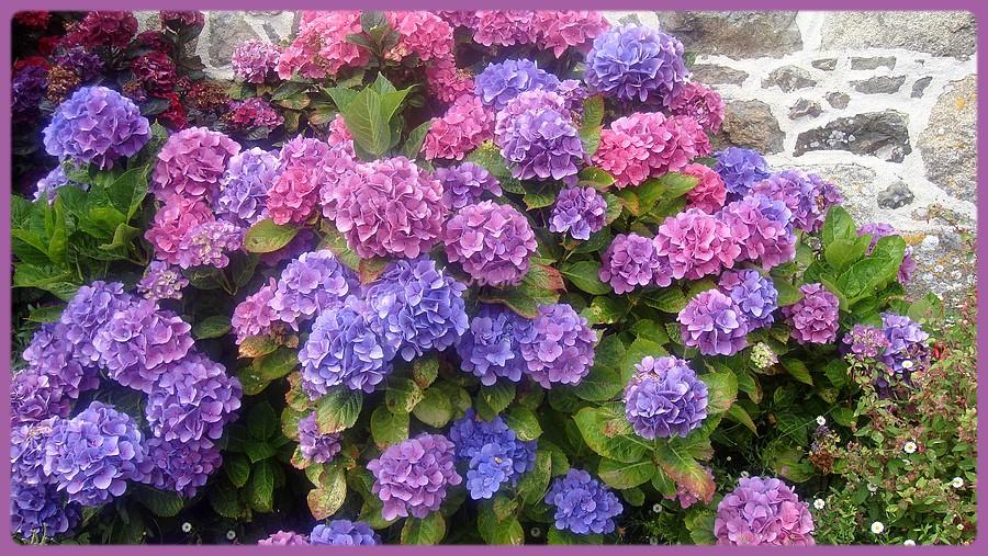 fleurs bretagne