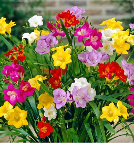 fleurs freesias