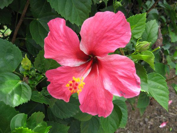 fleurs guadeloupe