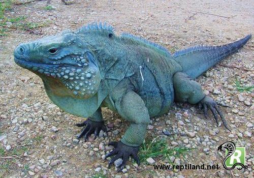 espece de reptile