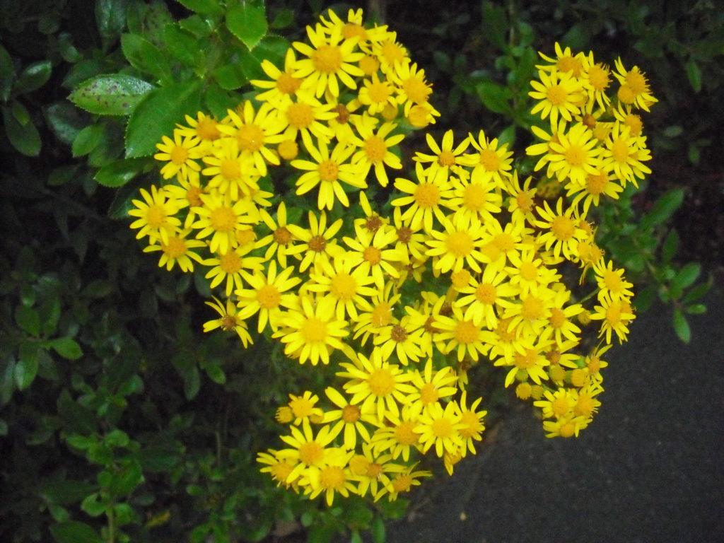 fleurs sauvages bretagne