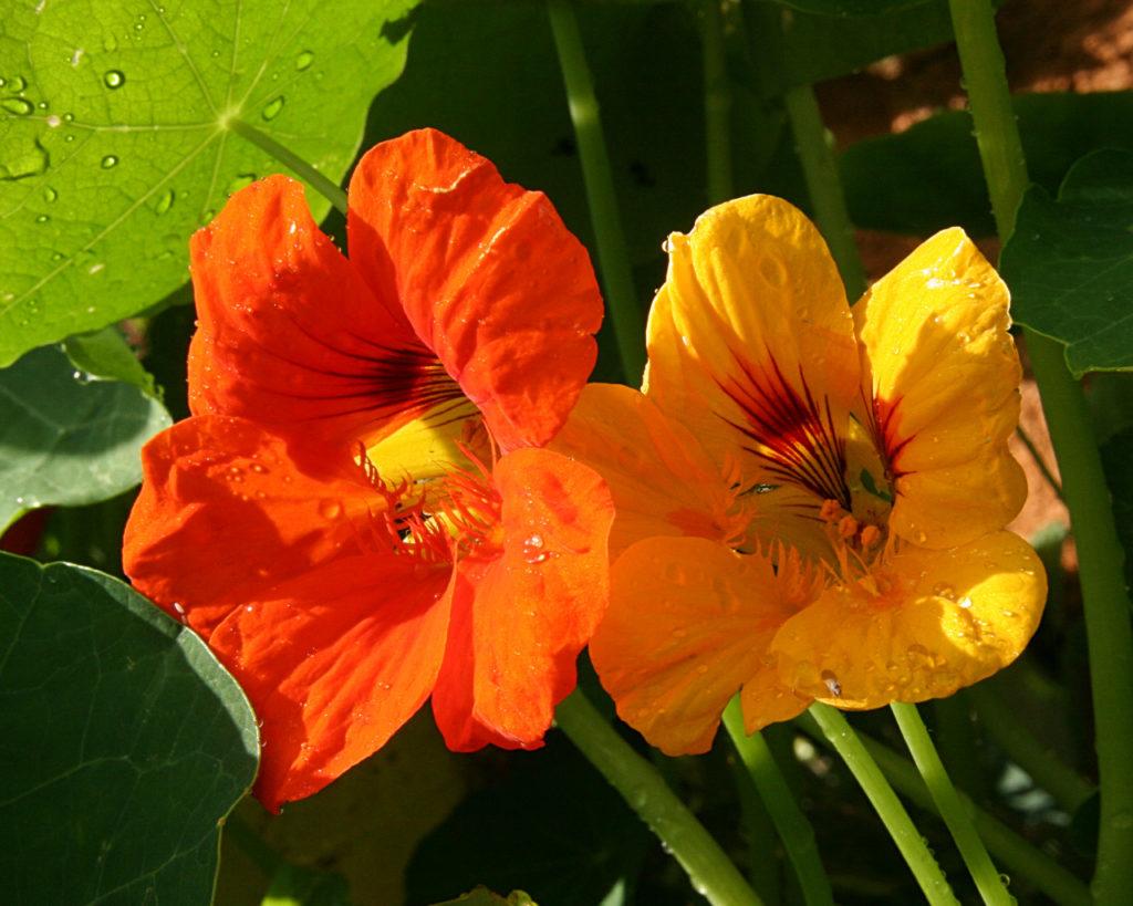 grosse fleur rouge