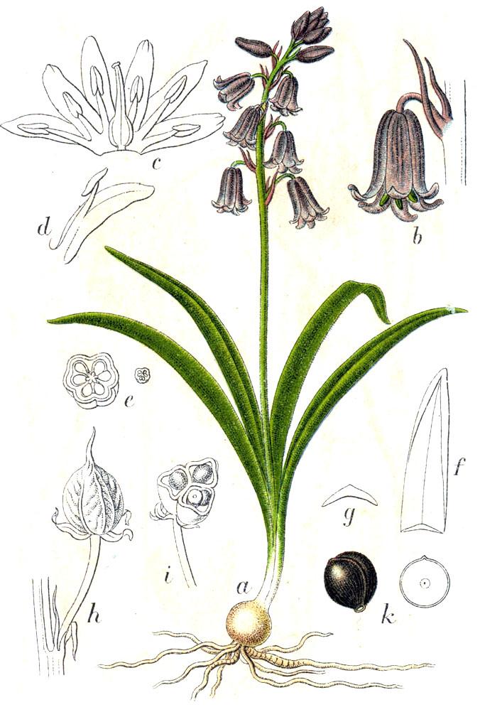 coucou fleur sauvage